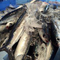 旬魚トビウオ